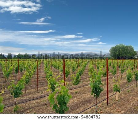 Country Vineyard - stock photo