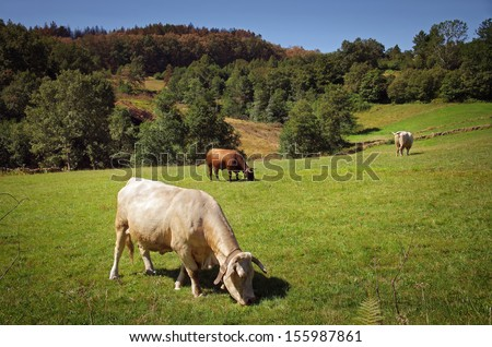 Countryside landscape with bovine cattle pasturing in a green field - stock photo