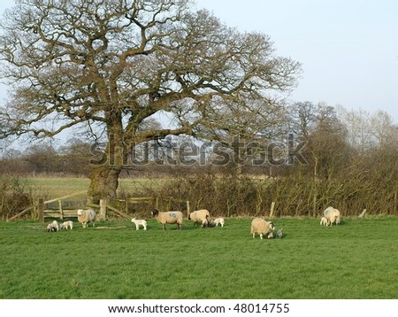 Countryside View of Sheep Grazing under an Oak Tree in Early Spring