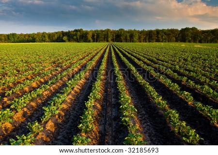 Countryside with potato field