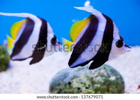 couple angel fish in aquarium, thailand - stock photo