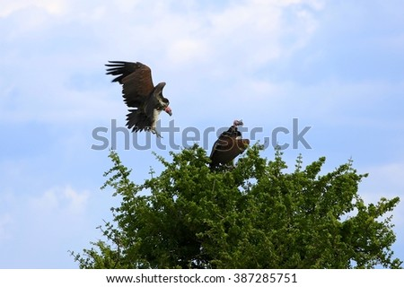 couple at lappet-faced vulture at the masai mara national park kenya