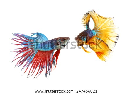 Couple betta fighting fish top form preparing to fight isolated a on white background - stock photo
