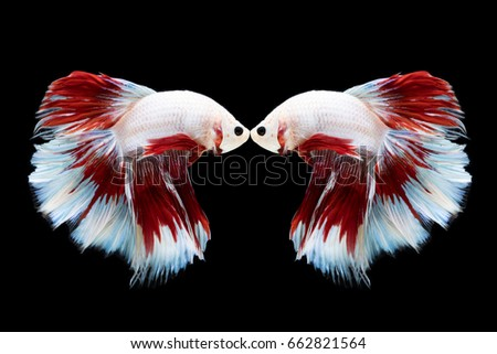 Couple Betta Fish On Black Background Wallpaper Chinese Style
