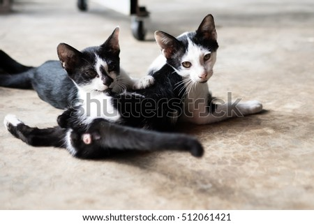 Couple black and white kitten