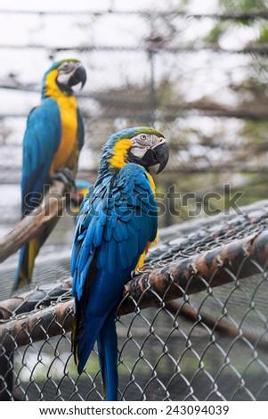 Couple blue-and-yellow macaw (Ara ararauna). - stock photo