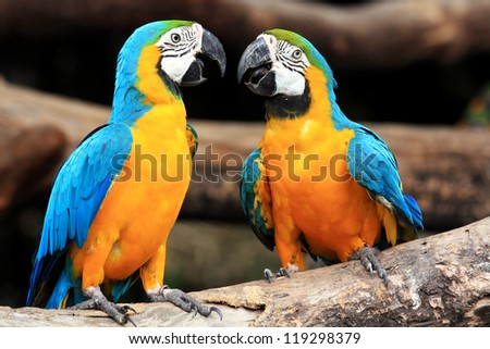 Couple blue-and-yellow macaws (Ara ararauna) sitting on log - stock photo