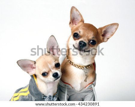 Couple Chihuahua in Sweatshirts