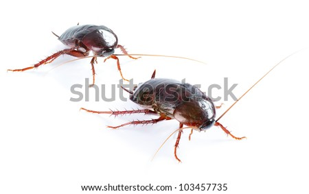 couple Cockroach bug  isolated on white background