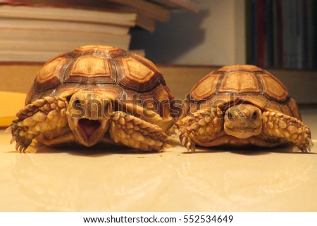 Couple Cute portrait of African spurred tortoise on warm light