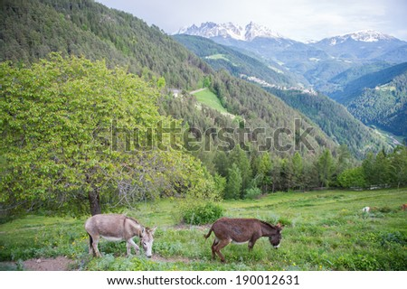 couple donkeys on the dirt trial with Mountain background - stock photo