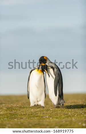 Couple King Penguins at Falkland islands