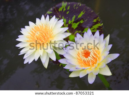 couple lotus in the pool