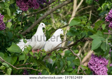 Couple lover of white pigeons perching on the branch. - stock photo
