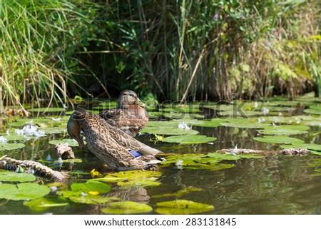 Couple mallard Ducks swimming in water - stock photo
