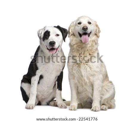 couple of a Mixed-Breed Dog and a labrador golden retriever in front of a white background - stock photo