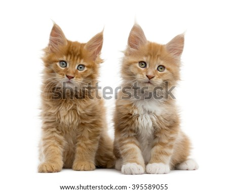 Couple of a Red Maine coon kitten sitting and looking at the camera, isolated on white - stock photo