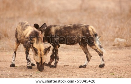 Couple of African Wild Dogs (Lycaon pictus), highly endangered species of Africa - stock photo