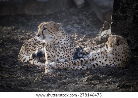 Couple of Amur leopards have a rest, lying on the earth in a zoo - stock photo