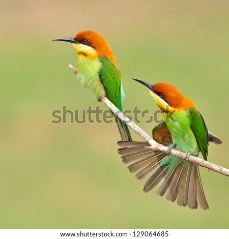 Couple of Bee eater Bird - stock photo