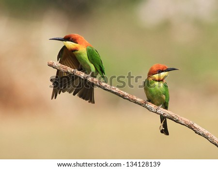 Couple of Bee eater Bird - stock photo