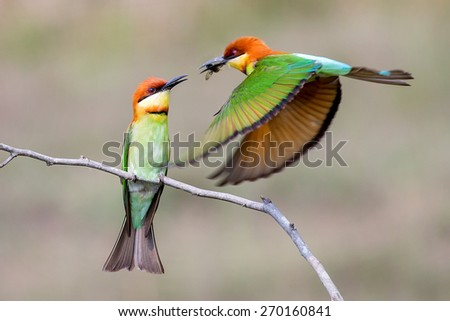 Couple of Bee eater bird of Thailand sitting on tree limb on green background - stock photo
