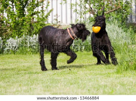 Couple of black dogs (series Animals)