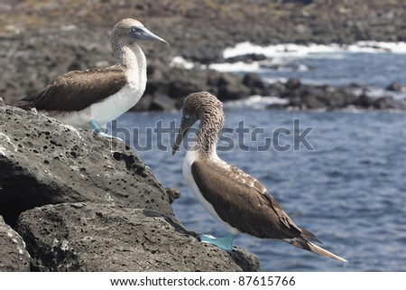 Couple of blue footed boobies, Galapagos islands - stock photo