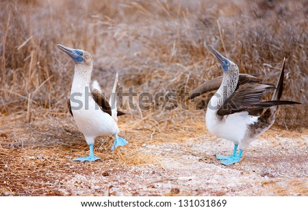 Couple of blue footed boobies performing mating dance - stock photo