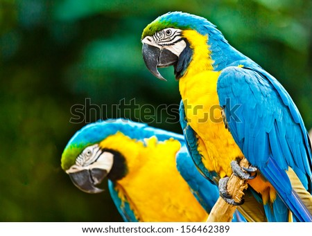 Couple of blue macaw parrots on the rainforest in Brazil - stock photo