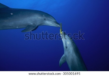 COUPLE OF BOTTLE NOSE DOLPHIN PLAY WITH SPONGE - stock photo