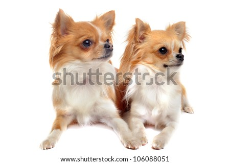 couple  of chihuahuas in front of white background