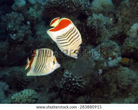Couple of crown butterflyfish nipping at comb jelly drifting by - stock photo