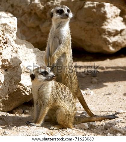 Couple of curious meerkats - stock photo