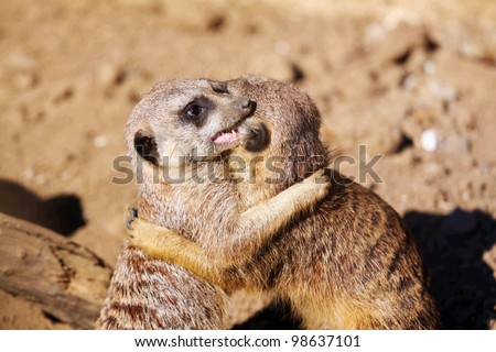 Couple of curious meerkats playing in the sand - stock photo