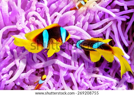 Couple of cute  clown-fish in the bush of anemone's - underwater tropical world. - stock photo