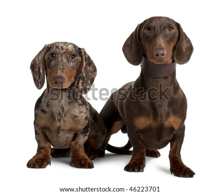 Couple of Dachshunds, 18 and 5  months old, sitting in front of white background - stock photo