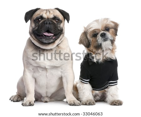 Couple of dogs : Shih Tzu dressed-up and a pug in front of a white background