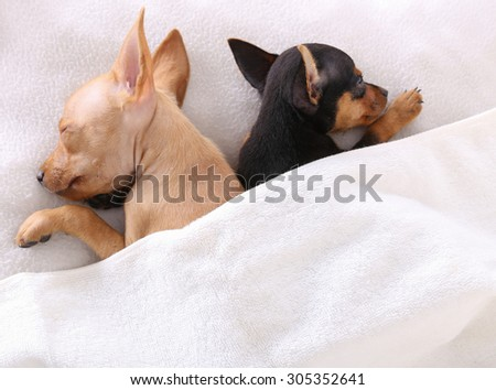 couple of dogs sleeping together under the blanket in bed - stock photo