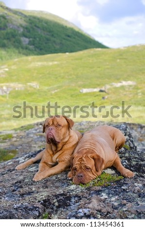Couple of Dogue De Bordeaux in the mountains, Norway - stock photo