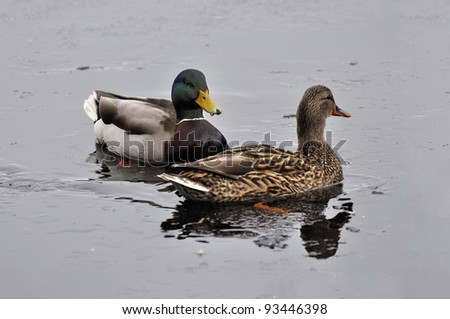 Couple of duck and drake are swimming in   the lake