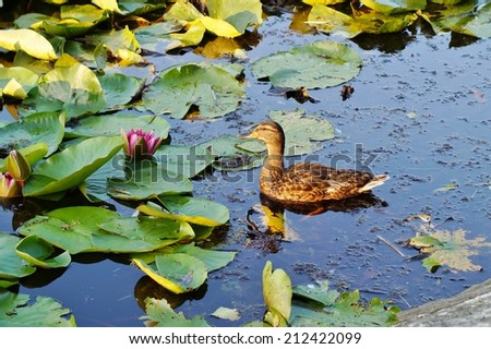 Couple of duck are swimming in the pond - stock photo