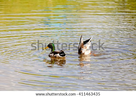 Couple of duck are swimming in the river