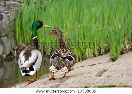Couple of ducks in the botanical gardens - stock photo