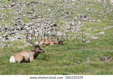 Couple of elk lounging in the grass atop a mountain - stock photo