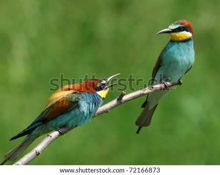 couple of european bee-eaters perched on a twig, quarrel - stock photo