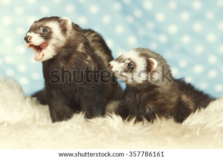 Couple of ferrets - stock photo