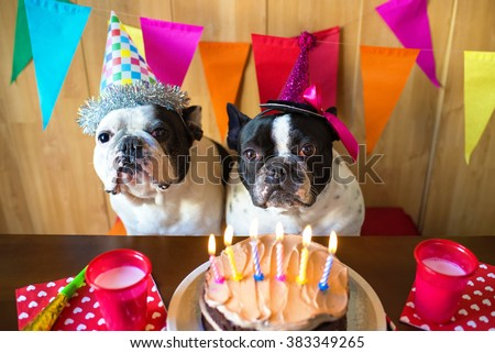 couple of French bulldogs on birthday party. - stock photo