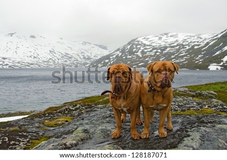 Couple of French Mastiffs at the mountains glacier, Northern Norway - stock photo