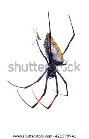 Couple of giant banana spiders, Nephila madagascariensis, mating on white background - stock photo